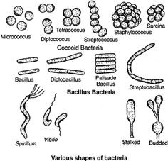 Arrangement of cocci shape bacteria microbiology pinterest shapes and arrangement of bacteria ccuart Choice Image