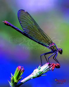˚ Dragonfly Photos, Dragonfly Wall Art, Dragonfly Insect, Beautiful Bugs, Beautiful Butterflies, Animals Beautiful, Dragonfly Photography, Nature Photography, Tiny Dancer