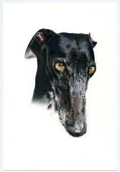 Galgo negro. Greyhound black. Ilustración lápiz. Illustration pencil