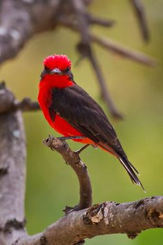 Vermillion Flycatcher (by Alan Gutsell). Gorgeous bird - saw several of these on holidays in Arizona