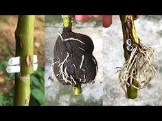 Nhân giống hoa hồng theo cách mới | How to make a rose root - YouTube Garden Yard Ideas, Home Garden Plants, Garden Crafts, Garden Projects, Rose Cuttings, Plant Cuttings, Propogate Roses, Roses In Potatoes, Planter Rosier