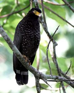 The Andaman Serpent Eagle (Spilornis elgini) is a species of bird of prey in the… Raptor Bird Of Prey, Birds Of Prey, Largest Bird Of Prey, Feathered Dinosaurs, Spiritual Animal, Funny Birds, Tier Fotos, All Gods Creatures, Animals