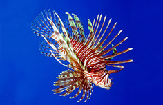 Recipes for cooking up those pestilent lionfish - The Bermudian