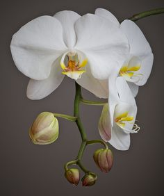Excellent Screen Orchids photography Thoughts Should you be new to the world of orchids , you shouldn't be terrified of them. Many orchids may b Flowers Nature, Exotic Flowers, Amazing Flowers, Sugar Flowers, Paper Flowers, Art Floral, Baby Orchid, Orchids Painting, Orchid Plants