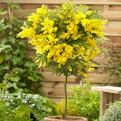 The canary-yellow blooms of the Flowering Mimosa Tree are a spectacular sight from January to April every year, where hundreds of bobbly yellow Cherry Plant, Flowering Cherry Tree, Conservatory Plants, Garden Plants, Mimosas, Garden Express, Evergreen Trees, Garden Accessories, Plant Care