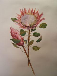Protea I|Size: 114 x 94 | Medium: Watercolour | Style: Still Life Botanical Illustration, Illustration Art, Protea Art, Watercolor Paintings, Watercolours, Tropical Flowers, Diy Art, Flower Art, Planting Flowers