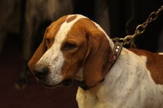 American English Coonhound  / Redtick Coonhound