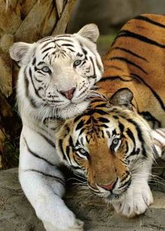 Contrasting Styles - The contrasting COLORS in Nature are Bold .. and striking, are they not?  #Tigers
