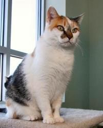 Spot is an adoptable Domestic Short Hair Cat in Casper, WY. I am a regal lady.  DOB:  10/05/97   Spot is a calm older lady who came to the shelter when her previous owner could not afford to take her to the vet.  She is a quiet & beautiful cat who loves to sit in the window & soak up the morning sun.  Spot is tolerant of other cats & dogs but would prefer to be in a house where she is the only pet.  She is vocal & outgoing...