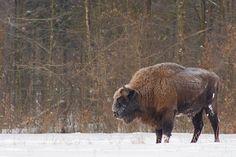 Google Image Result for http://www.wildpoland.com/wp-content/uploads/2011/03/bison-bialowieza-poland-02.jpg