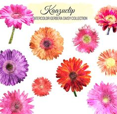 Watercolor Gerbera Dasiy Collection  Commercial and by kaazuclip