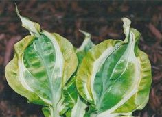 images of unusual or rare hosta - Google Search  Hosta - Totally Awe Sum