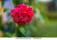 Vibrant pink red rose petal