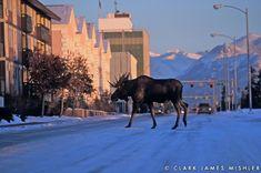 Anchorage Alaska moose in street