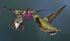 A colourful mating display by two calliope hummingbirds by Canadian Walter Nussbaumer