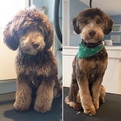 Teddy the #minaturedoodle in for his groom. Soo well-behaved ☺️#victoriabc #yyj #gordonhead #cordovabay #cadborobay #fernwood #fairfield #saanich #petgrooming #dogfun #petsalon #dogsofinstagram