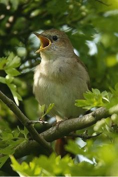 Common nightingale or simply nightingale, a. rufous nightingale, is a small passerine bird best known for its powerful and beautiful song. All Birds, Little Birds, British Wildlife, My Secret Garden, Bird Watching, Bird Feathers, Beautiful Birds, Beautiful Creatures, Spring Time