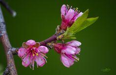 Peach flowers by Cristian Petri on Peach Flowers, Garden, Plants, Photos, Garten, Pictures, Lawn And Garden, Gardens, Plant