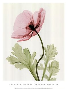 Xray image of Poppy
