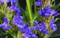 Heirloom 500 Seeds Hyssopus Hyssop Officinalis Herb by seedsshop