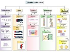 Easy to remember breakdown of carbohydrates lipids (fat) and proteins. Love it!: