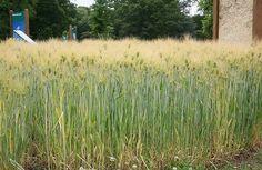 Grow barley, malt barley, make beer!