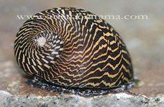 Green Tiger Snail Aquarium Snails, Glass Aquarium, All Fish, Beautiful Fish, Landscaping Plants, Freshwater Fish, Betta Fish, Aquariums, Tropical Fish