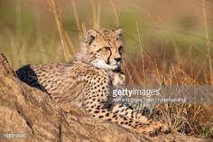 Cheetah (Acinonyx jubatus) cub, Phinda private game reserve, Kwazulu Natal, South Africa, Africa