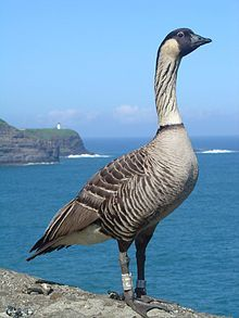 Nene  - The official bird of the state of Hawaiʻi, the Nene is exclusively found in the wild on the islands of Maui, Kauaʻi and Hawaiʻi. The Nene evolved from the Canada Goose (Branta canadensis), which most likely migrated to the Hawaiian islands 500,000 years ago, shortly after the island of Hawaiʻi was formed.