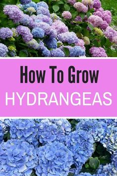 Learn how to grow hydrangeas in your garden! These beauties can exist in shades of pink, blue, and white, and will easily beautify your flower garden. Hydrangea should make your list of garden ideas! #hydrangeas #gardenideas #gardeningtips