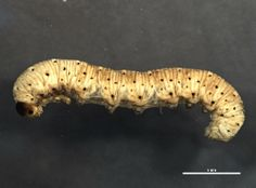 Cimbicid sawfly larva (Abia sp.) collected in Elk Island National Park, Alberta, Canada, photographed at the Biodiversity Institute of Ontario (sample id:  BIOUG04633-H07; specimen record: http://www.boldsystems.org/index.php/Public_RecordView?processid=SSEIA4517-13; BIN: http://www.boldsystems.org/index.php/Public_BarcodeCluster?clusteruri=BOLD:AAG3554)