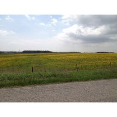 a field of dandelions in the town once known as Ash, Ontario