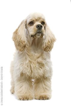 Page Not Found - Royal Canin Black Cocker Spaniel, American Cocker Spaniel, Cocker Spaniel Puppies, English Cocker Spaniel, Beautiful Dog Breeds, Beautiful Dogs, Yorkies, Cockerspaniel, Purebred Dogs