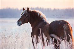 mare Queen, Soviet Heavy Draft horse. © Olesya Nickolaeva photolesya.com