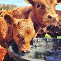 Lovin' these precious cows!