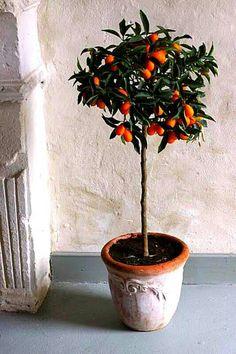 Kumquat topiary