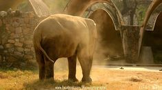 Elephant throwing sand(Slo-Mo)