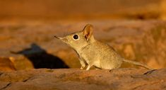 Tuli Safari Lodge in the Northern Tuli Game Reserve, Botswana, must be one of the only places in Africa that can guarantee excellent sightings of Elephant Shrews. Elephant shrews are widely dispersed in Africa but are usually shy and very rarely seen.