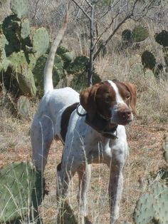English Pointer Bird Dog >>> You can find out more advice on pet dogs at the link of the image. Scotch Collie, Pointer Dog, Bichon Frise, Hunting Dogs, Animals Of The World, Dog Training, Training Tips, Australian Shepherd, Yorkshire Terrier