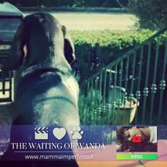 "Des nouvelles de MADAME WANDA d'An Naoned 💜 🎥 qui réside en Italie 🇮🇹 Découvrez la vidéo #YouTube https://youtu.be/X3hQFL2_jkE et l'article ""L'Attesa di Wanda"" de Mme Sacchetti https://www.facebook.com/MammaImperfetta Femelle Basset bleu de Gascogne née le 30/04/16 (Hebe d'An Naoned x Justin d'An Naoned)  #basset #bassetbleudegascogne #bbg #dog #chien #cani #hund #pet #familydog #story #doglove #italia #dogpics #petpics #wandalebasset #wanda #cute"