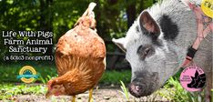 Welcome To The Future, Mini Pigs, Pig Farming, Farm Animals, Goats, Adventure, Life, Mini Teacup Pigs, Adventure Movies