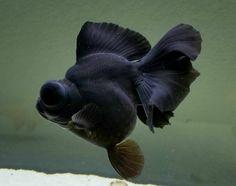 show quality demekin Black Goldfish, Pet Goldfish, Pretty Fish, Beautiful Fish, Colorful Fish, Tropical Fish, Tetra Fish, Golden Fish, Freshwater Aquarium Fish