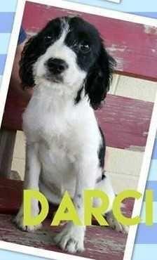 English Springer Spaniel dog for Adoption in Boston, MA. ADN-561860 on PuppyFinder.com Gender: Female. Age: Baby
