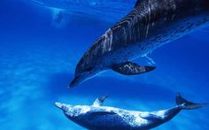 """Dolphins and whales are so intelligent that they should be recognised as """"non-human persons"""" and given their own bill of rights, researchers claim."""