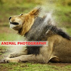 Lion Explosion, Masai Mara, Kenya by Piper Mackay Wildlife Photography, Animal Photography, Dangerous Animals, Lion Mane, Save The Elephants, Pose For The Camera, Game Reserve, African Safari, Brown Bear
