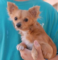 Carey is a docile junior puppy who needed us when his previous owner passed away.  He is a cute Longhair Chihuahua, a neutered boy, housetrained, good with cats and dogs, and debuting for adoption today at Nevada SPCA (www.nevadaspca.org).  Carey loves his toys and wants everyone to like him.  Please visit and ask for him by name.