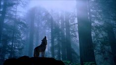 Absolutely stunning picture of a wolf howling to the moon in the forest! Wolf Wallpaper, Animal Wallpaper, Forest Wallpaper, Beautiful Creatures, Animals Beautiful, Beautiful Wolves, Le Husky, Wolf Background, Of Wolf And Man
