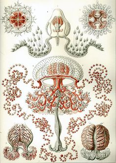 """Anthomedusae""  Ernst Haeckel- Kunstformen der Natur"