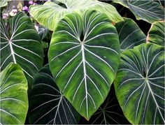 Tropical Rainforest Leaves Tropical forest have broad Amazon Rainforest Plants, Rainforest Flowers, Jungle Flowers, Big Leaves, Tree Leaves, Plant Leaves, Tropical Garden, Tropical Plants, Tropical Forest