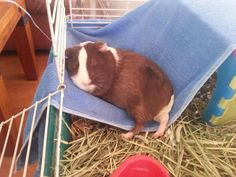 "My guinea pig sleeping in her ""hammock."""